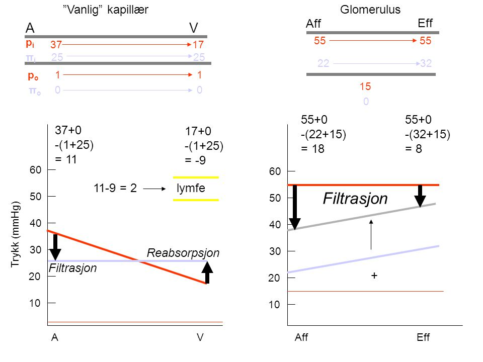 For magnocellulære nevroner i hypothalamus: Nucleus supraopticus og nucleus paraventricularis