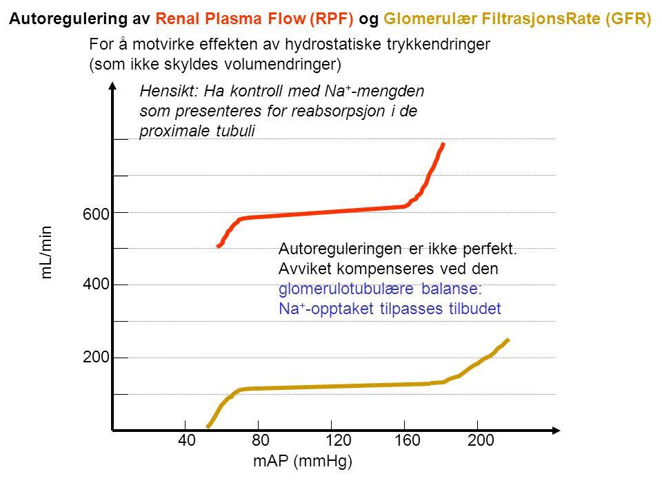 mAP (mmHg) 40 80 120 160 200 200 400 600 mL/min Autoregulering av Renal Plasma Flow (RPF) og Glomerulær FiltrasjonsRate (GFR) For å motvirke effekten av hydrostatiske trykkendringer (som ikke skyldes volumendringer) Hensikt: Ha kontroll med Na + -mengden som presenteres for reabsorpsjon i de proximale tubuli Autoreguleringen er ikke perfekt.