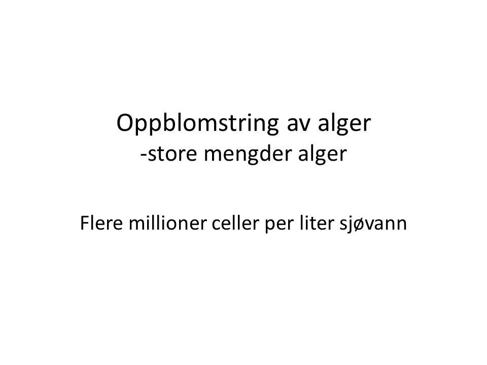 Oppblomstring av alger -store mengder alger Flere millioner celler per liter sjøvann