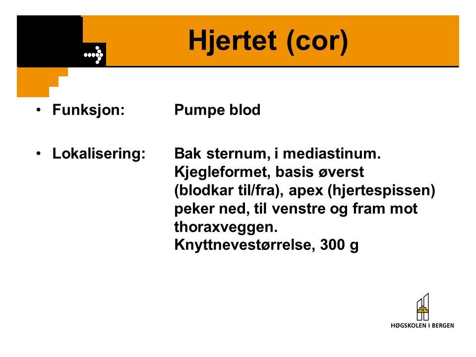 Hjertet (cor) •Funksjon:Pumpe blod •Lokalisering:Bak sternum, i mediastinum. Kjegleformet, basis øverst (blodkar til/fra), apex (hjertespissen) peker