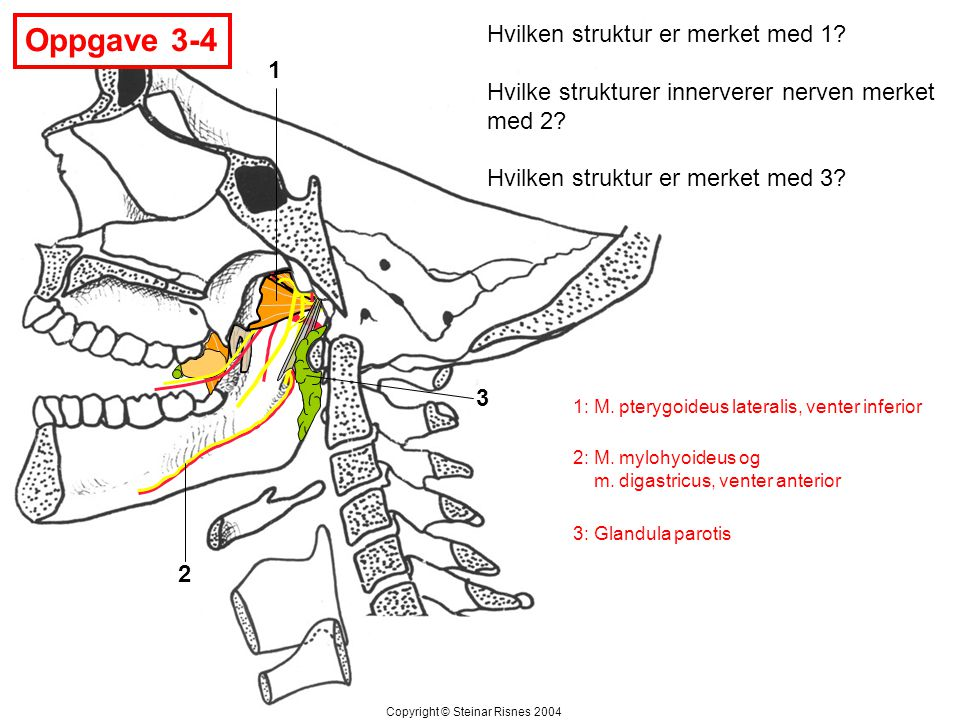 1 2 3 Hvilken struktur er merket med 1? Hvilke strukturer innerverer nerven merket med 2? Hvilken struktur er merket med 3? Oppgave 3-4 Copyright © St