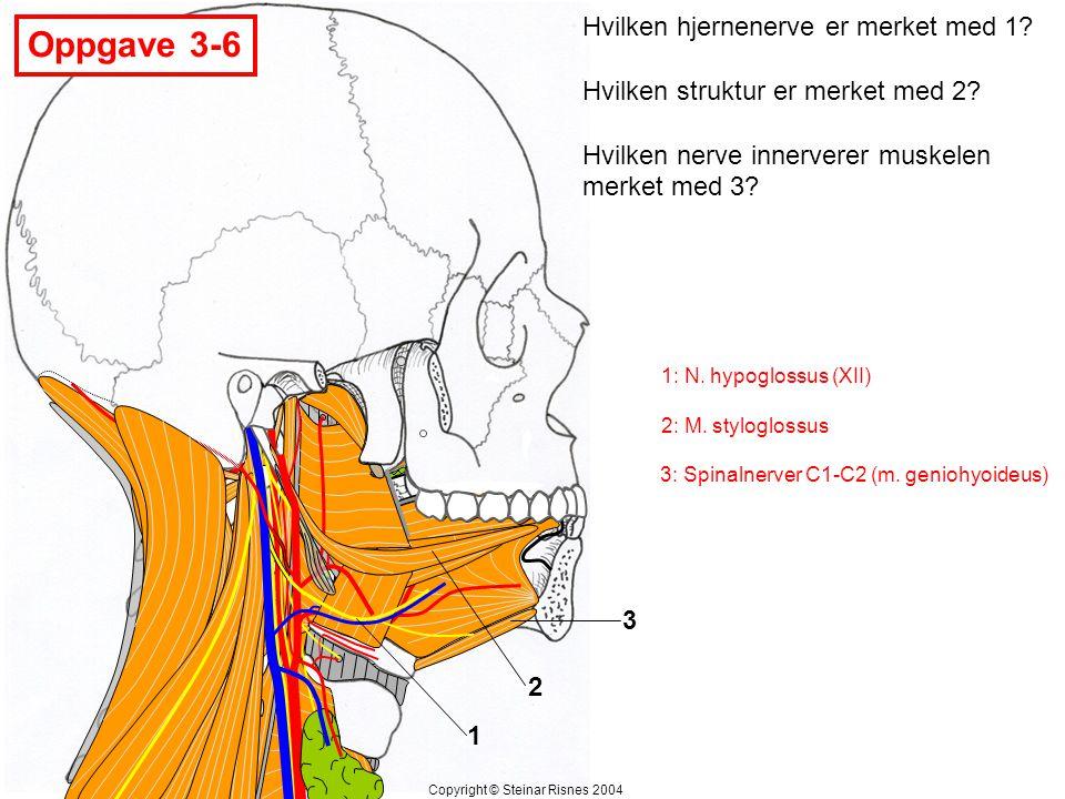 1 2 3 Hvilken hjernenerve er merket med 1? Hvilken struktur er merket med 2? Hvilken nerve innerverer muskelen merket med 3? Oppgave 3-6 Copyright © S