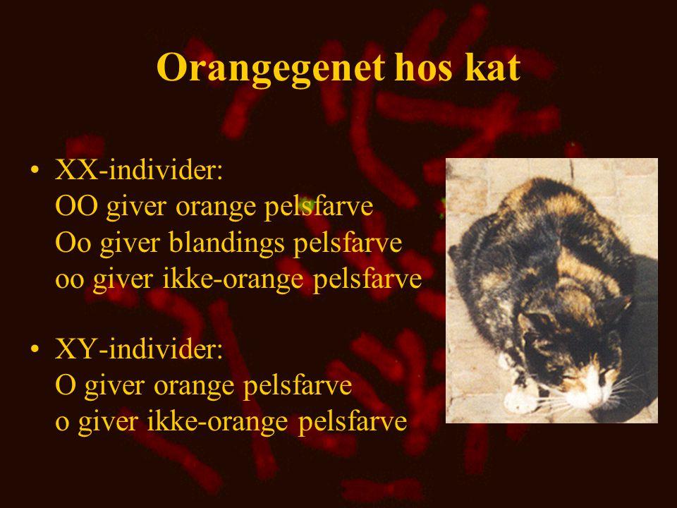 Beregning af genfrekvenser for orangegenet hos kat •O hun : p = (2  3+53)/(2  173) = 0,17 o hun : q = (2  117+53)/(2  173) = 0,83 •O han : p = 28/177 = 0,16 •o han : q = 149/177 = 0,84