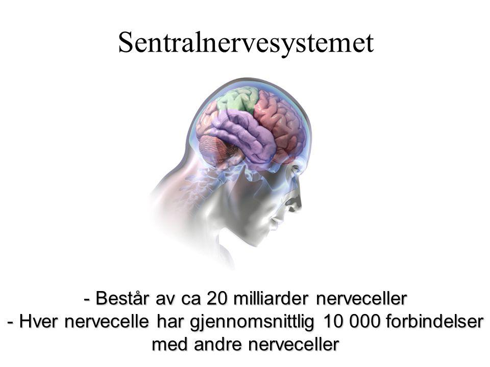 Sentralnervesystemet - Består av ca 20 milliarder nerveceller - Hver nervecelle har gjennomsnittlig 10 000 forbindelser med andre nerveceller