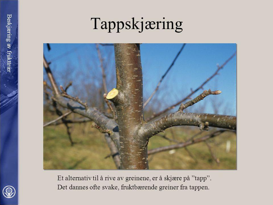 Avriving av greiner Her ser vi hvordan det ser ut etter at noen kraftige greiner i toppen av et epletre er blitt revet av. Men dette gjør ikke noe. De