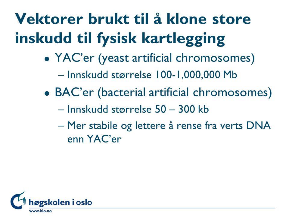 Vektorer brukt til å klone store inskudd til fysisk kartlegging l YAC'er (yeast artificial chromosomes) –Innskudd størrelse 100-1,000,000 Mb l BAC'er