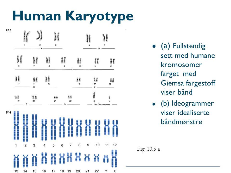 Human Karyotype l (a) Fullstendig sett med humane kromosomer farget med Giemsa fargestoff viser bånd l (b) Ideogrammer viser idealiserte båndmønstre F