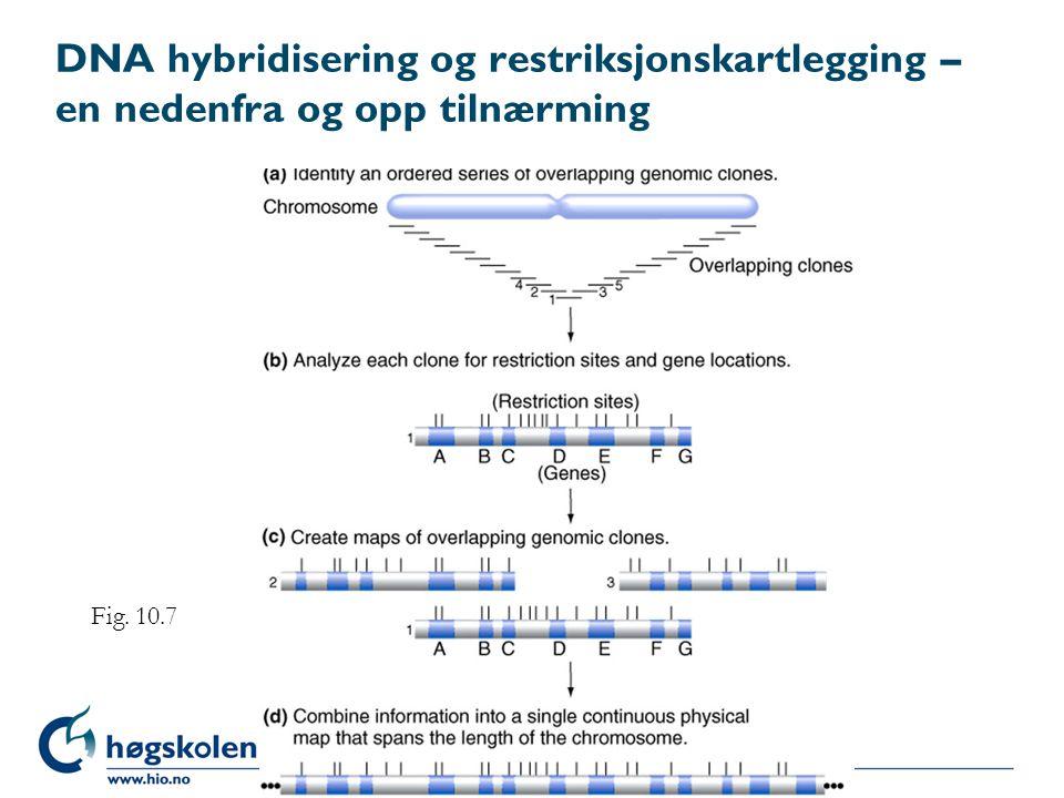 DNA hybridisering og restriksjonskartlegging – en nedenfra og opp tilnærming Fig. 10.7