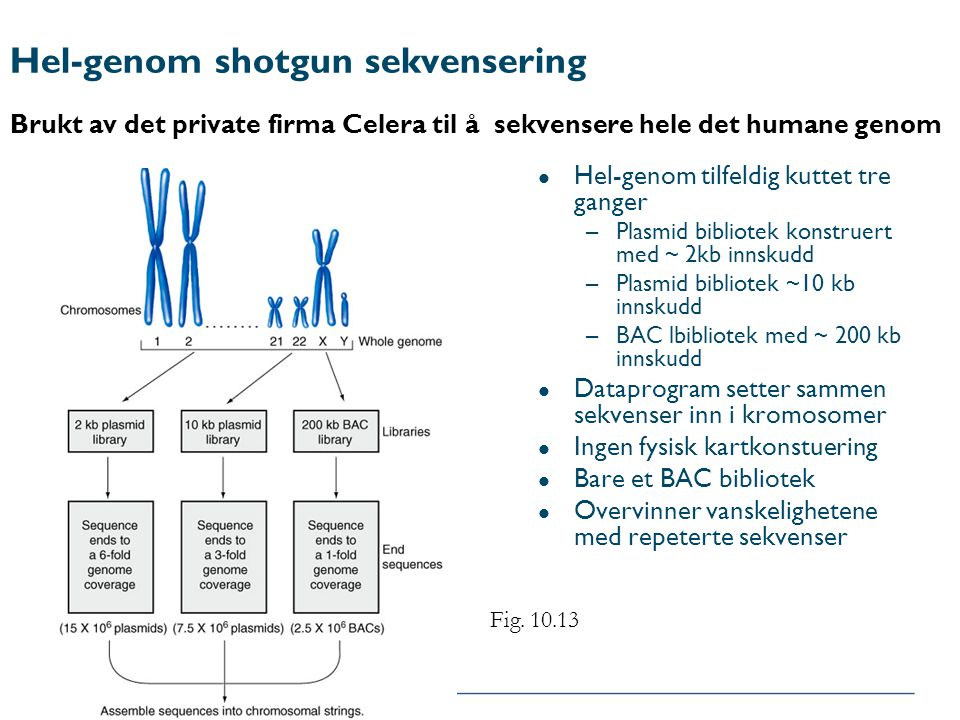 Hel-genom shotgun sekvensering Brukt av det private firma Celera til å sekvensere hele det humane genom l Hel-genom tilfeldig kuttet tre ganger –Plasm