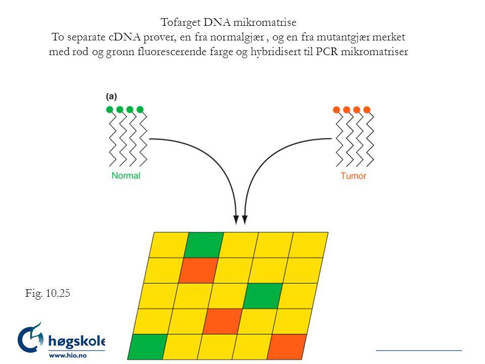 Tofarget DNA mikromatrise To separate cDNA prøver, en fra normalgjær, og en fra mutantgjær merket med rød og grønn fluorescerende farge og hybridisert