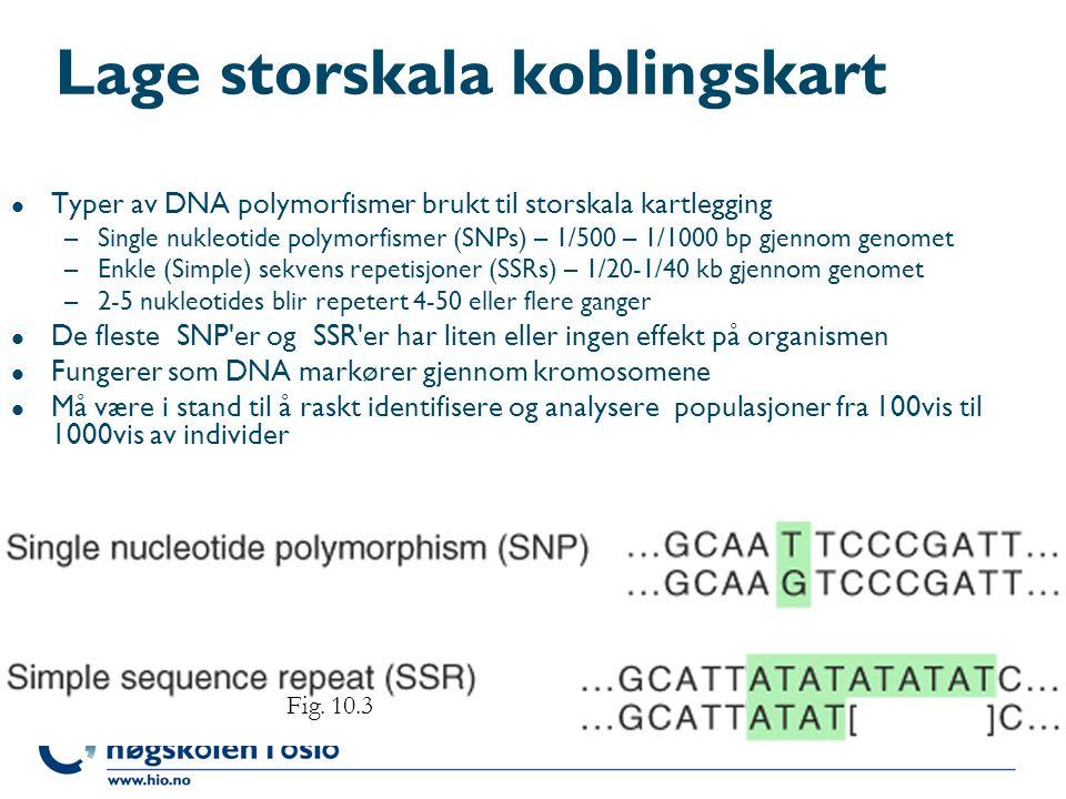 Lage storskala koblingskart l Typer av DNA polymorfismer brukt til storskala kartlegging –Single nukleotide polymorfismer (SNPs) – 1/500 – 1/1000 bp g