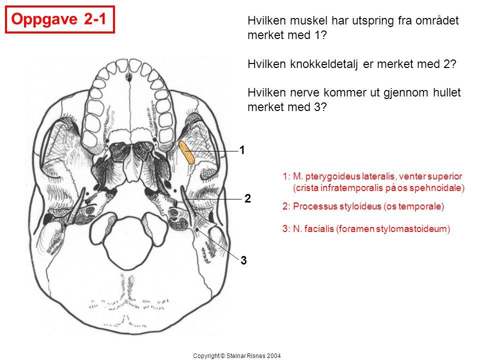 Oppgave 2-1 1 2 3 Hvilken muskel har utspring fra området merket med 1? Hvilken knokkeldetalj er merket med 2? Hvilken nerve kommer ut gjennom hullet