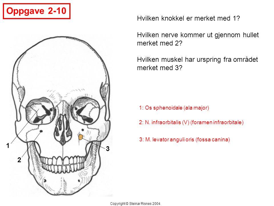 Oppgave 2-10 1 2 3 Hvilken knokkel er merket med 1? Hvilken nerve kommer ut gjennom hullet merket med 2? Hvilken muskel har urspring fra området merke