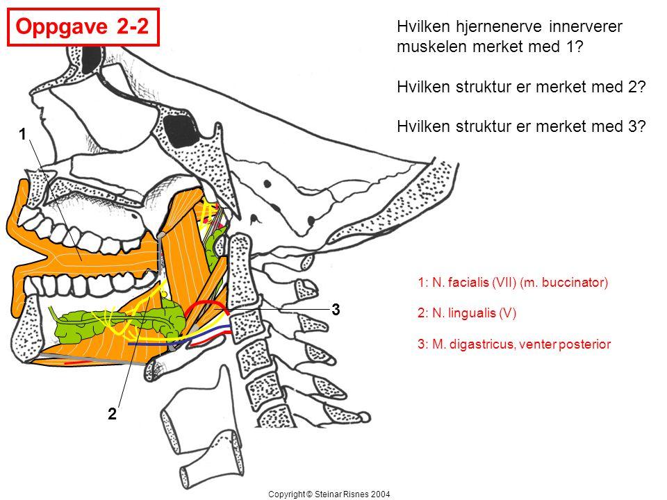 Oppgave 2-2 1 2 3 Hvilken hjernenerve innerverer muskelen merket med 1? Hvilken struktur er merket med 2? Hvilken struktur er merket med 3? Copyright