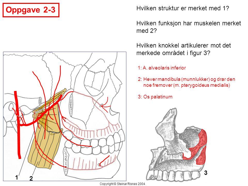 Oppgave 2-3 1 2 3 Hvilken struktur er merket med 1? Hvilken funksjon har muskelen merket med 2? Hvilken knokkel artikulerer mot det merkede området i