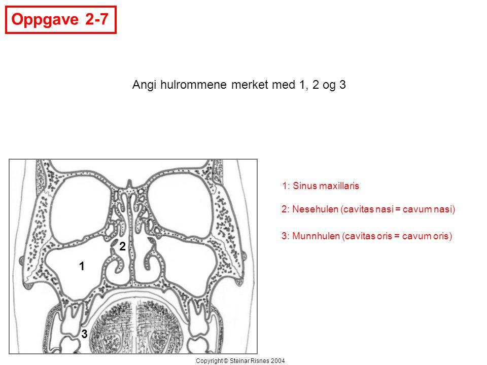 Oppgave 2-7 1 2 3 Angi hulrommene merket med 1, 2 og 3 Copyright © Steinar Risnes 2004 1: Sinus maxillaris 2: Nesehulen (cavitas nasi = cavum nasi) 3: