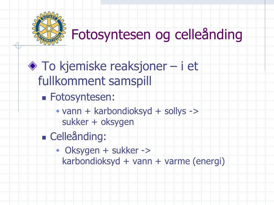 Fotosyntesen og celleånding To kjemiske reaksjoner – i et fullkomment samspill  Fotosyntesen:  vann + karbondioksyd + sollys -> sukker + oksygen  Celleånding:  Oksygen + sukker -> karbondioksyd + vann + varme (energi)