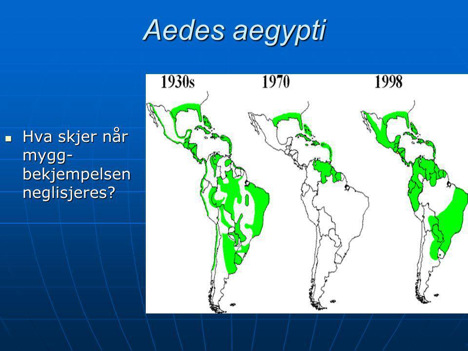 Aedes aegypti  Hva skjer når mygg- bekjempelsen neglisjeres?