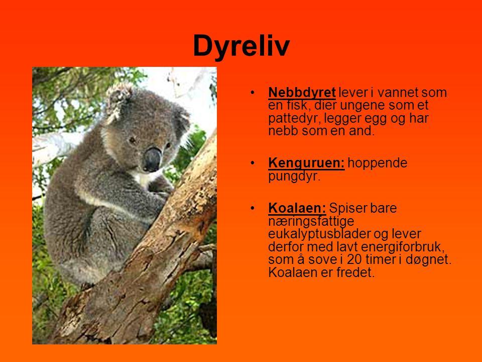 Dyreliv •Nebbdyret lever i vannet som en fisk, dier ungene som et pattedyr, legger egg og har nebb som en and. •Kenguruen: hoppende pungdyr. •Koalaen: