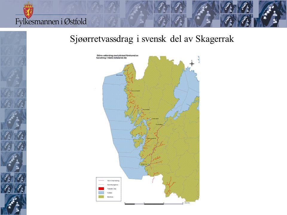 Sjøørretens livssyklus Sjø Bekk/elv Gyting i sept.- nov Yngel Apr.- jun ca.