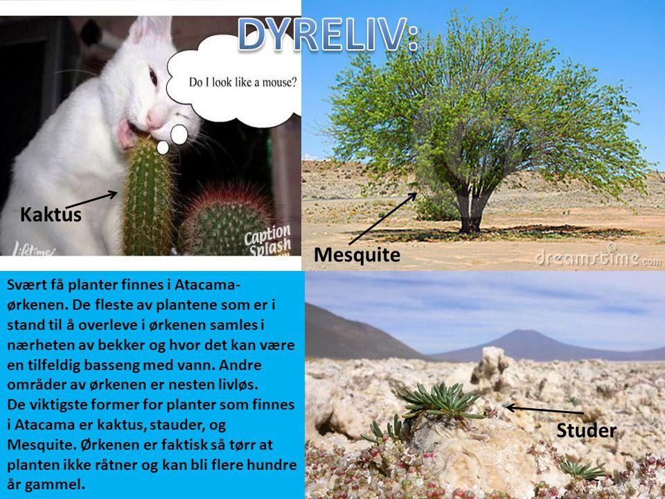 Svært få planter finnes i Atacama- ørkenen. De fleste av plantene som er i stand til å overleve i ørkenen samles i nærheten av bekker og hvor det kan