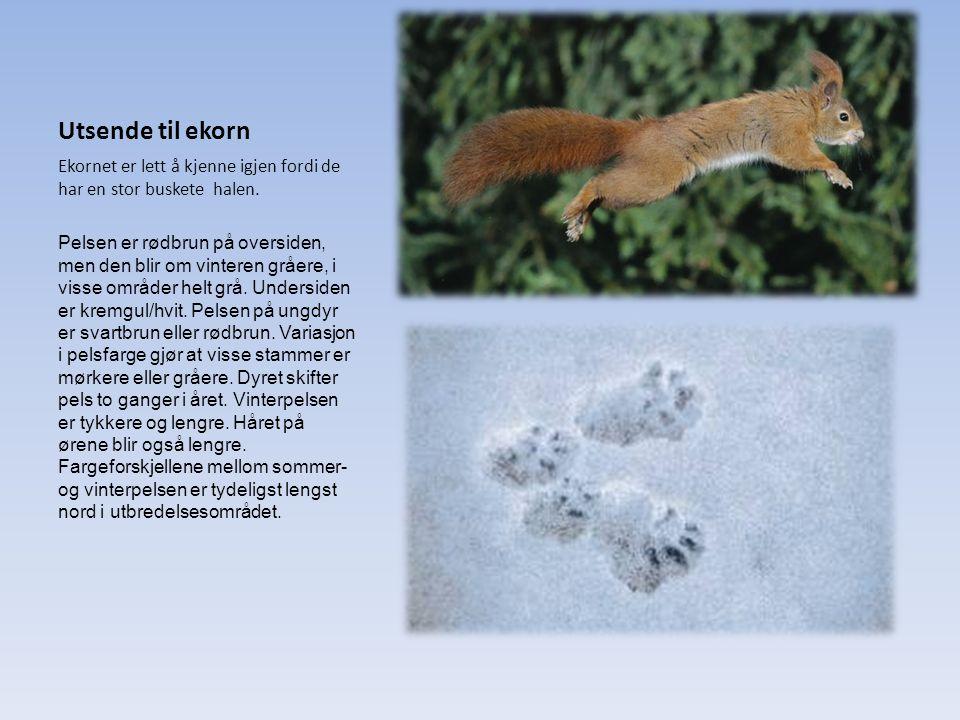 Utsende til ekorn Ekornet er lett å kjenne igjen fordi de har en stor buskete halen. Pelsen er rødbrun på oversiden, men den blir om vinteren gråere,