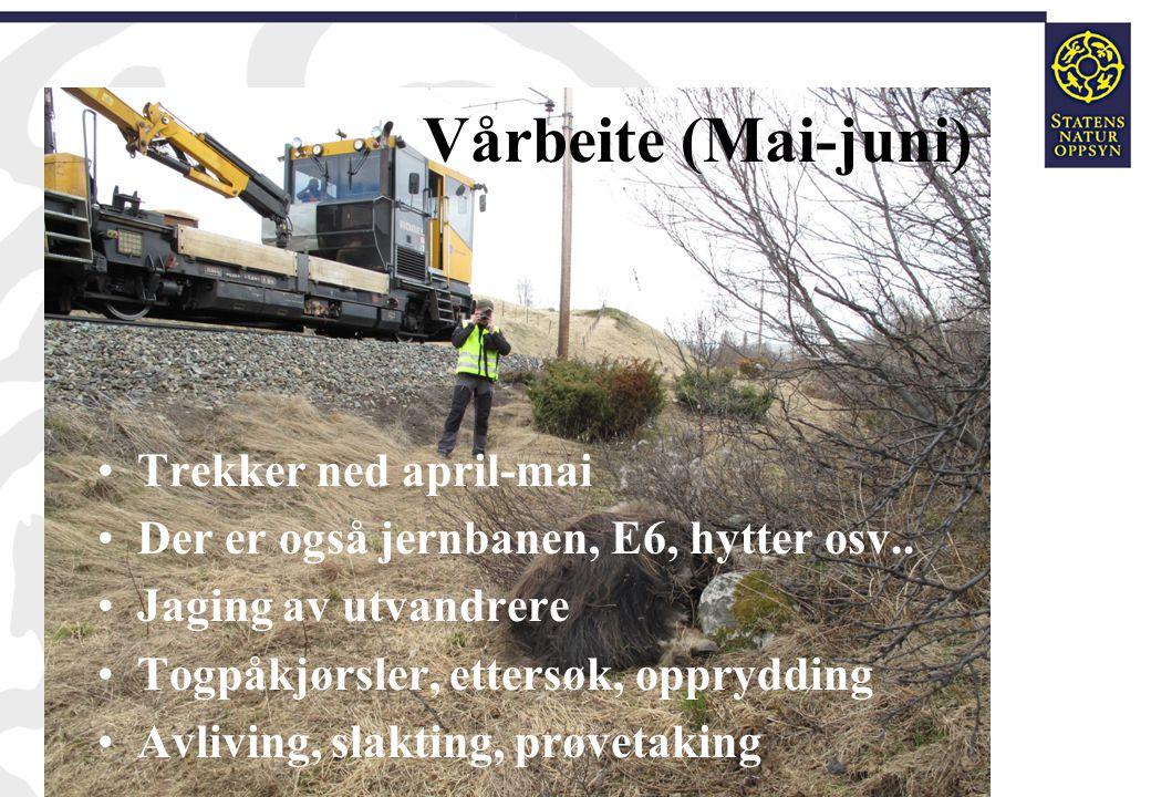 Vårbeite (Mai-juni) •Trekker ned april-mai •Der er også jernbanen, E6, hytter osv.. •Jaging av utvandrere •Togpåkjørsler, ettersøk, opprydding •Avlivi