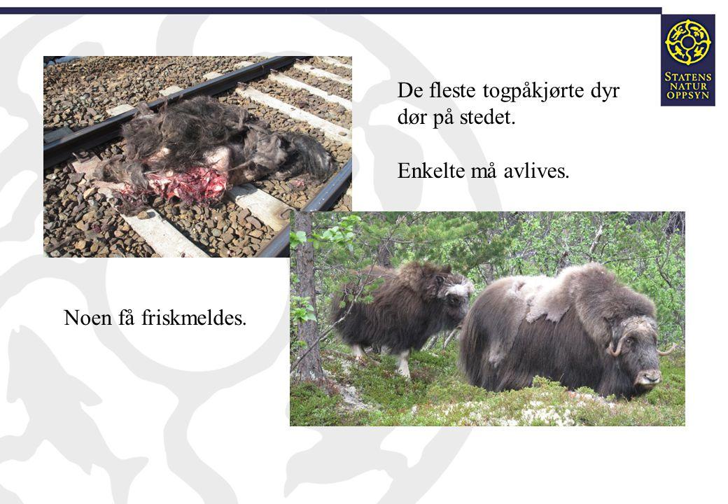 De fleste togpåkjørte dyr dør på stedet. Enkelte må avlives. Noen få friskmeldes.