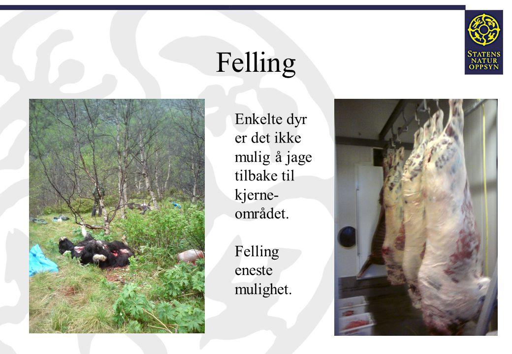 Felling Enkelte dyr er det ikke mulig å jage tilbake til kjerne- området. Felling eneste mulighet.