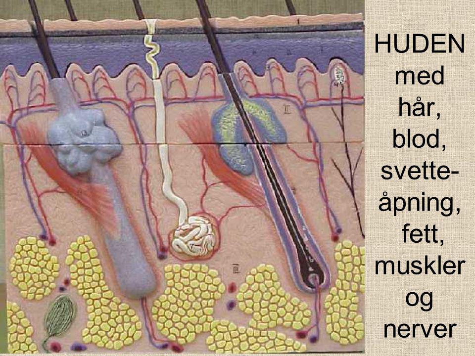HUDEN med hår, blod, svette- åpning, fett, muskler og nerver