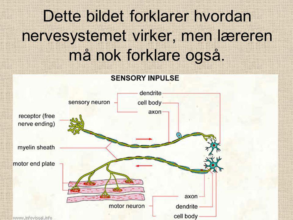 FRA KROPPEN TIL HJERNEN OG RYGGMARGEN •Det fins mange milliarder nerveceller i kroppen, og de styres av hjernen og ryggmargen.