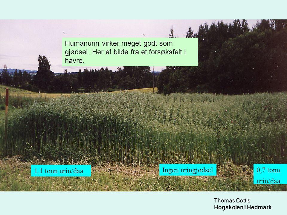 Thomas Cottis Høgskolen i Hedmark 1,1 tonn urin/daa Ingen uringjødsel0,7 tonn urin/daa Humanurin virker meget godt som gjødsel. Her et bilde fra et fo