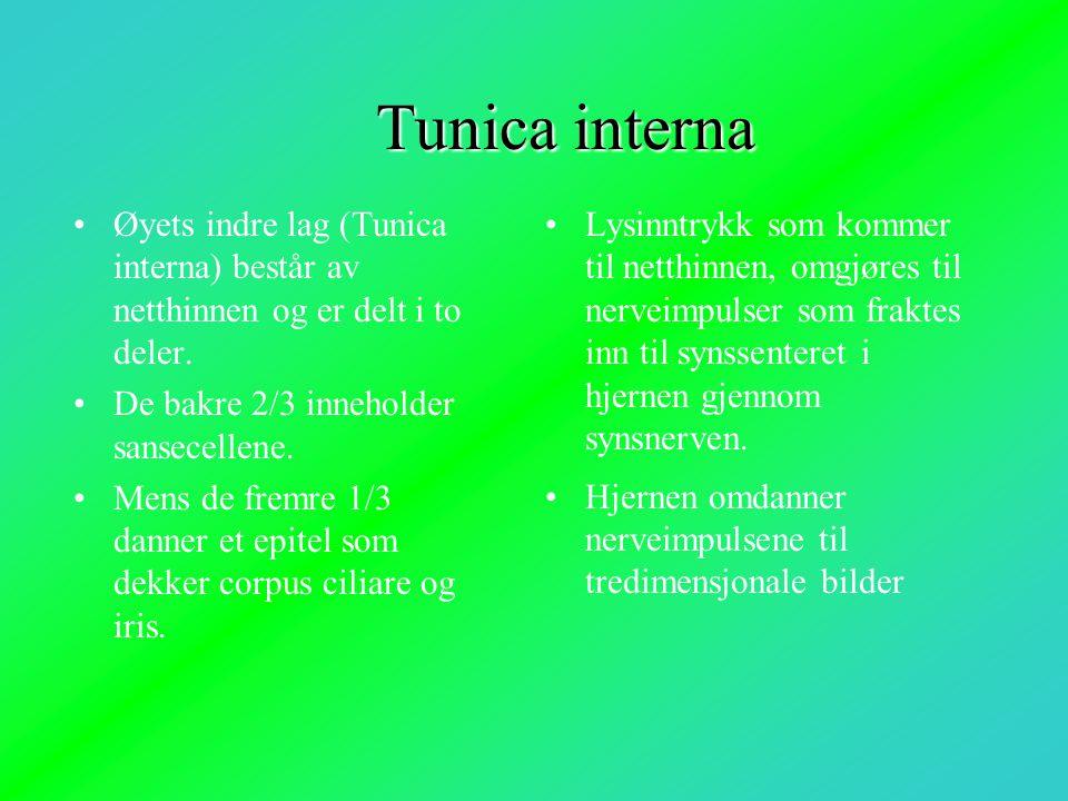 Tunica interna •Øyets indre lag (Tunica interna) består av netthinnen og er delt i to deler. •De bakre 2/3 inneholder sansecellene. •Mens de fremre 1/