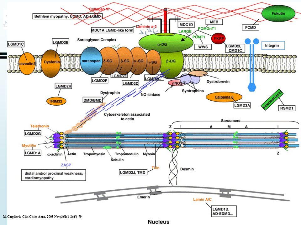 Limb Girdle-klassifisering •Klassifisering kontinuerlig prosess •Nederlandsk studie: 57% av de med klinisk og histologisk LGMD fikk spesifikk diagnose •107 pas/ 67 fam •LGMD1B: 14 pas/3 fam (Lamin A) •LGMD2A: 23 pas/14 fam (Calpain) •LGMD2B: 1pas/1fam (Dysferlin) •LGMD2C-F: 18pas/11 fam (Sarcoglycaner) •LGMD 2I: 5 pas/ 5 fam (FKRP) •Udiagnostisert 43 pas/33 fam Neurology 2007;68:2125-8