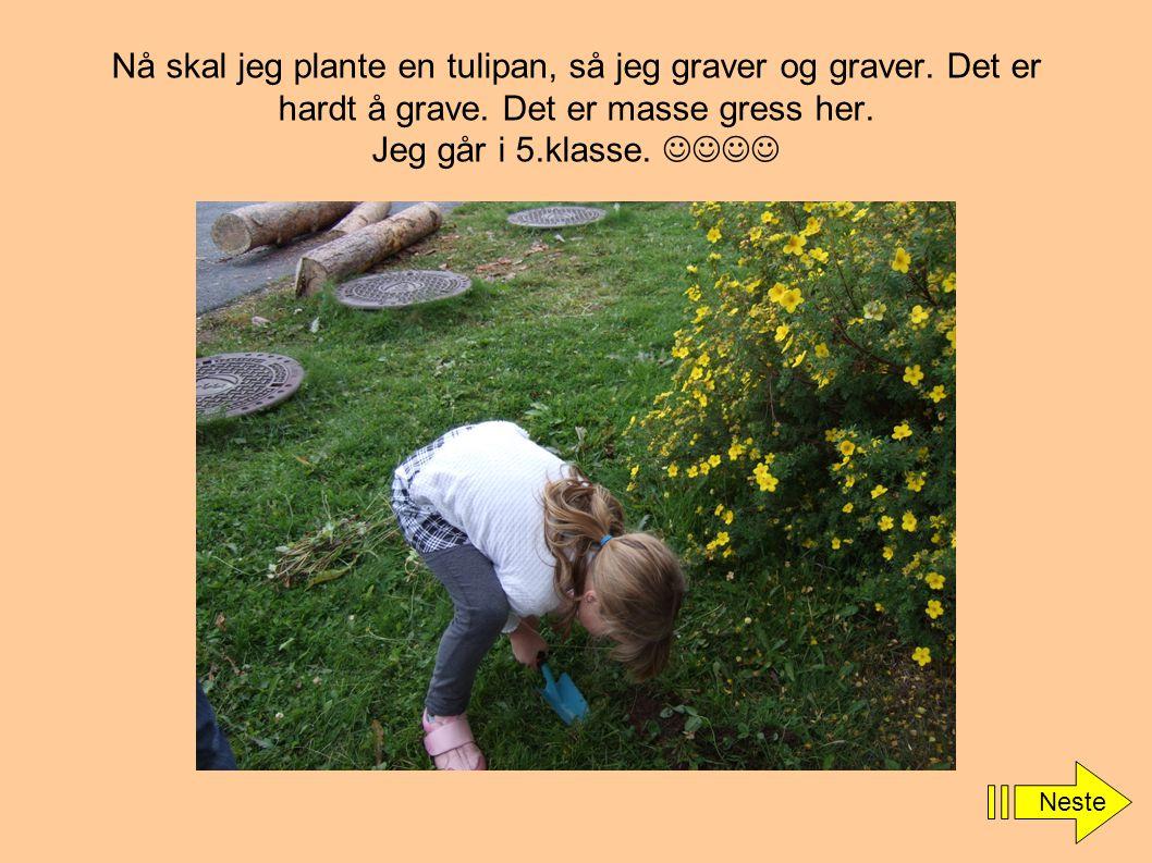 Nå skal jeg plante en tulipan, så jeg graver og graver. Det er hardt å grave. Det er masse gress her. Jeg går i 5.klasse.  Neste