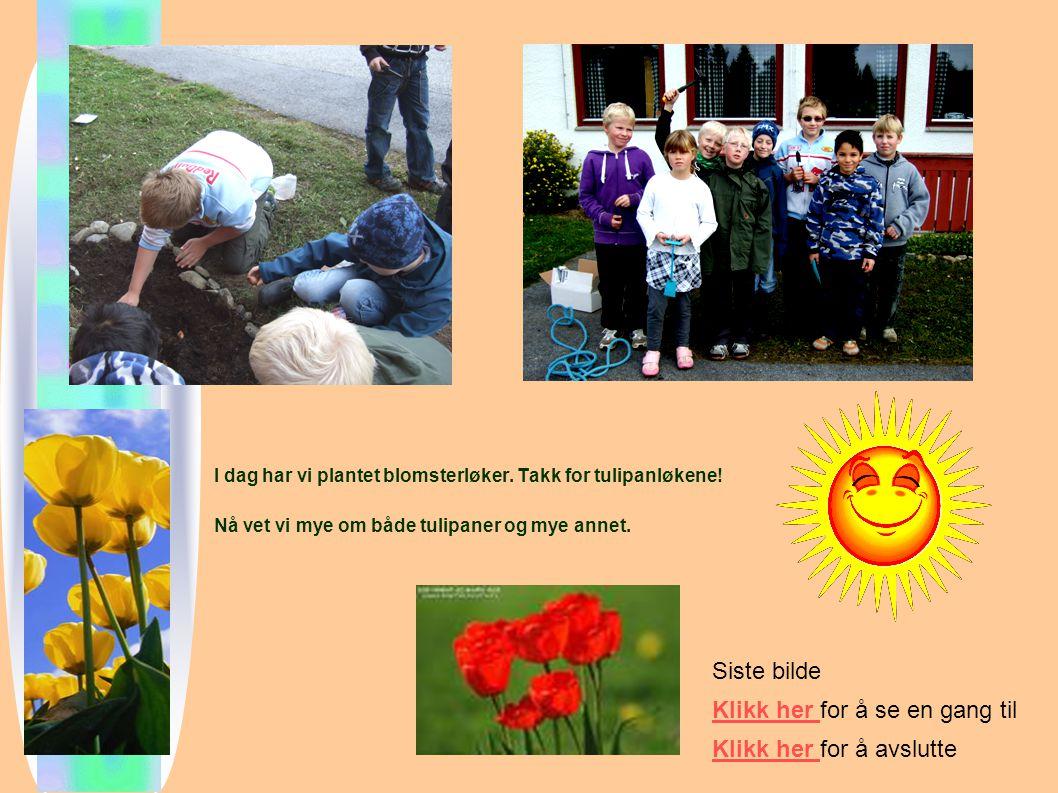 I dag har vi plantet blomsterløker.Takk for tulipanløkene.