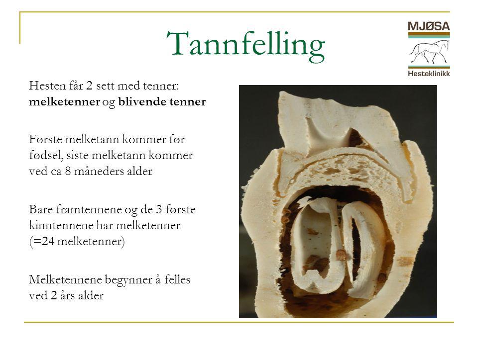 Tannfelling Hesten får 2 sett med tenner: melketenner og blivende tenner Første melketann kommer før fødsel, siste melketann kommer ved ca 8 måneders alder Bare framtennene og de 3 første kinntennene har melketenner (=24 melketenner) Melketennene begynner å felles ved 2 års alder