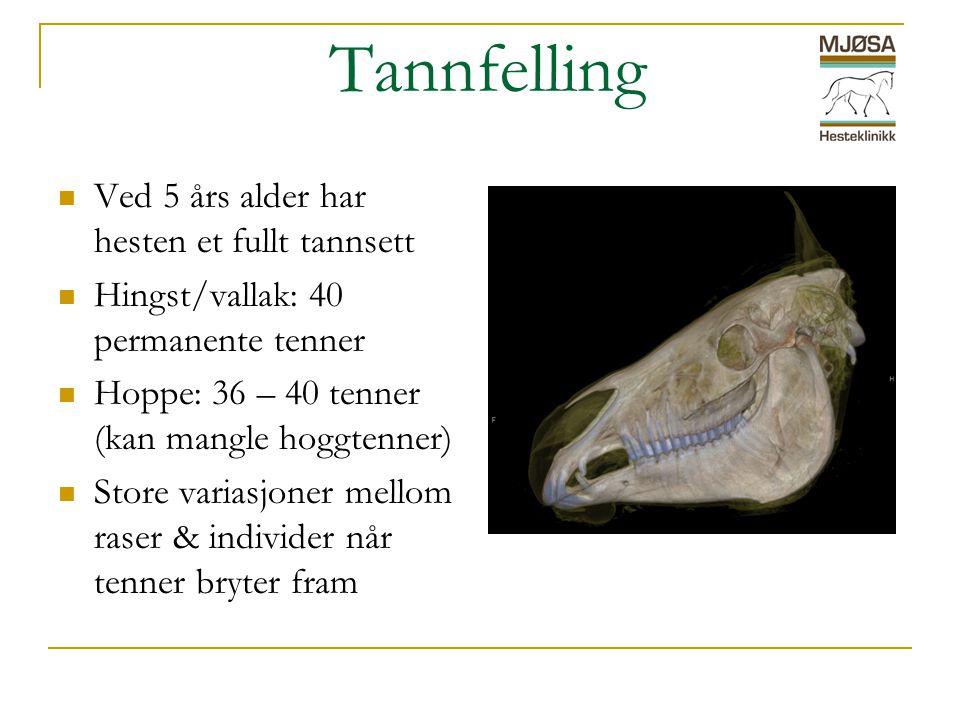 Tannfelling  Ved 5 års alder har hesten et fullt tannsett  Hingst/vallak: 40 permanente tenner  Hoppe: 36 – 40 tenner (kan mangle hoggtenner)  Store variasjoner mellom raser & individer når tenner bryter fram