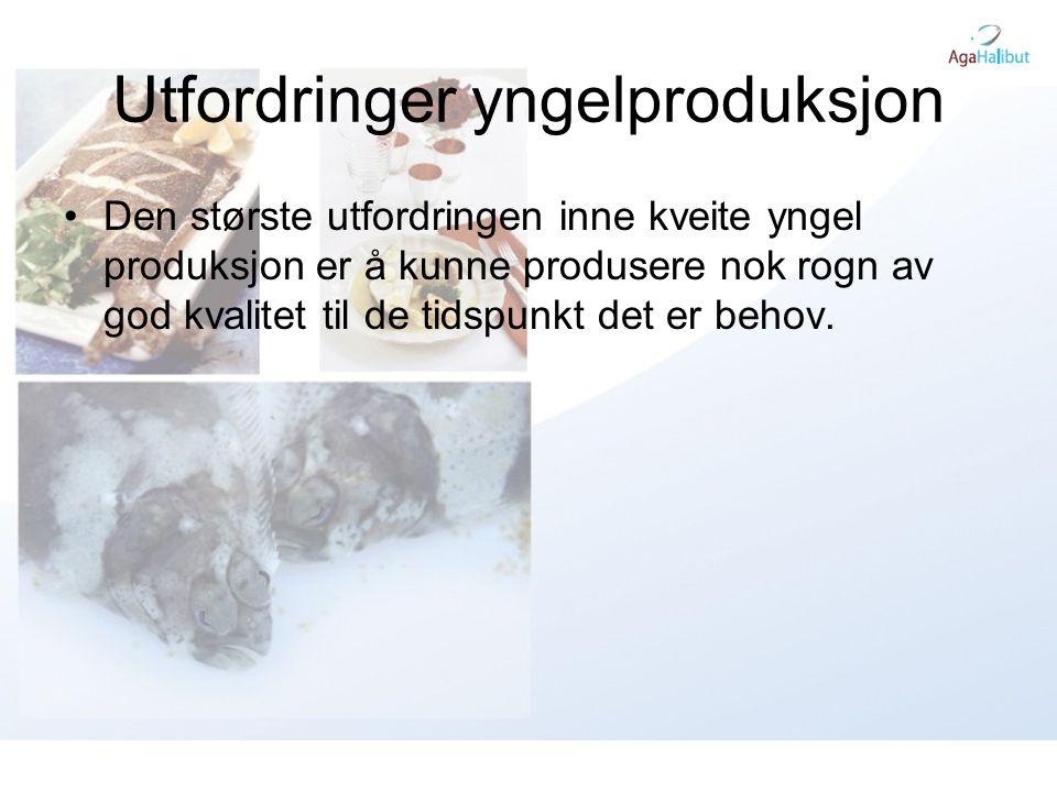 Utfordringer yngelproduksjon •Den største utfordringen inne kveite yngel produksjon er å kunne produsere nok rogn av god kvalitet til de tidspunkt det