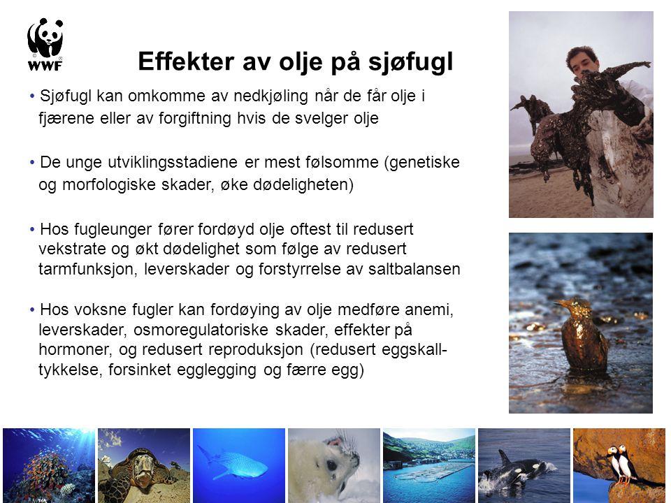 Effekter av olje på sjøfugl • Sjøfugl kan omkomme av nedkjøling når de får olje i fjærene eller av forgiftning hvis de svelger olje • De unge utviklin