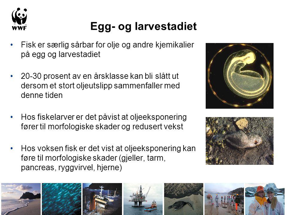 Egg- og larvestadiet •Fisk er særlig sårbar for olje og andre kjemikalier på egg og larvestadiet •20-30 prosent av en årsklasse kan bli slått ut dersom et stort oljeutslipp sammenfaller med denne tiden •Hos fiskelarver er det påvist at oljeeksponering fører til morfologiske skader og redusert vekst •Hos voksen fisk er det vist at oljeeksponering kan føre til morfologiske skader (gjeller, tarm, pancreas, ryggvirvel, hjerne)