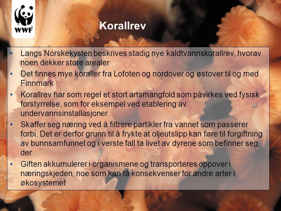 Korallrev •Langs Norskekysten beskrives stadig nye kaldtvannskorallrev, hvorav noen dekker store arealer •Det finnes mye koraller fra Lofoten og nordover og østover til og med Finnmark •Korallrev har som regel et stort artsmangfold som påvirkes ved fysisk forstyrrelse, som for eksempel ved etablering av undervannsinstallasjoner •Skaffer seg næring ved å filtrere partikler fra vannet som passerer forbi.