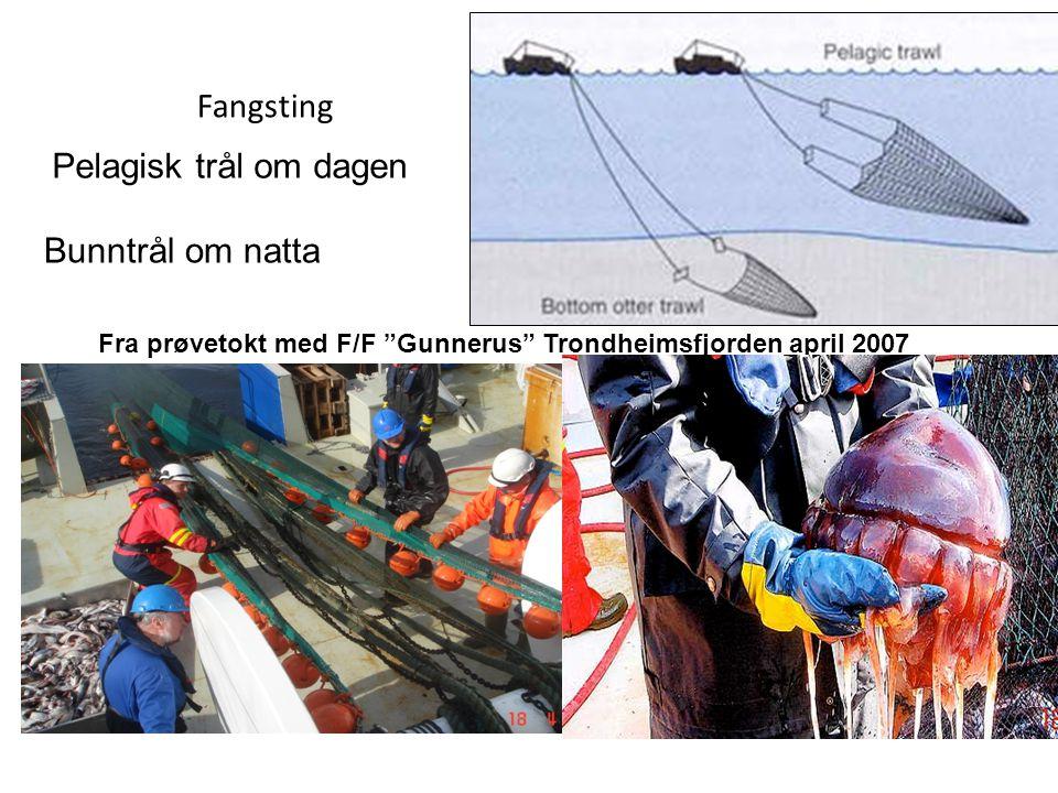 """Fangsting Pelagisk trål om dagen Bunntrål om natta Fra prøvetokt med F/F """"Gunnerus"""" Trondheimsfjorden april 2007"""