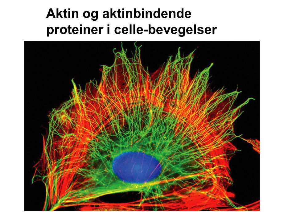 Aktin og aktinbindende proteiner i celle-bevegelser