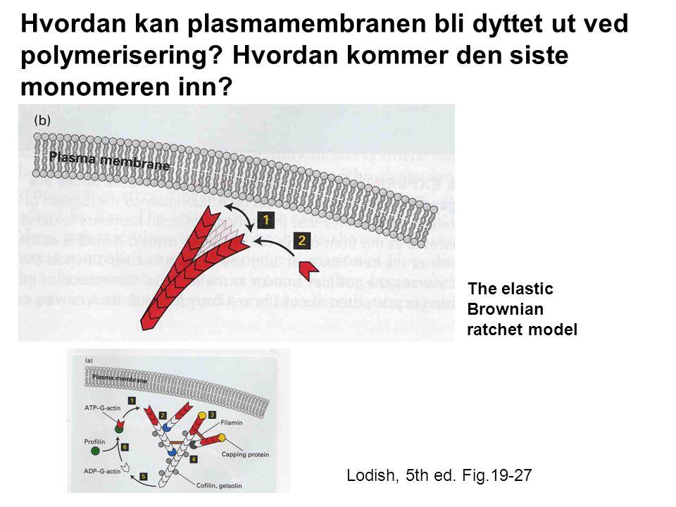 Lodish, 5th ed.Fig.19-27 Hvordan kan plasmamembranen bli dyttet ut ved polymerisering.