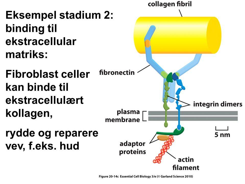 Eksempel stadium 2: binding til ekstracellular matriks: Fibroblast celler kan binde til ekstracellulært kollagen, rydde og reparere vev, f.eks.