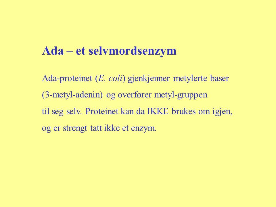 Ada – et selvmordsenzym Ada-proteinet (E. coli) gjenkjenner metylerte baser (3-metyl-adenin) og overfører metyl-gruppen til seg selv. Proteinet kan da