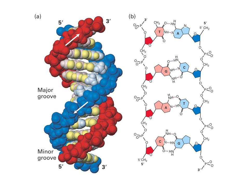 Seter i DNA som kan modifiseres kjemisk Spontan hydrolyse Angrep av reaktive oksygenmolekyler (ROS) *Nukleofile sentere som lett reagerer med eksogene og endogene elektrofile forbindelser, f.