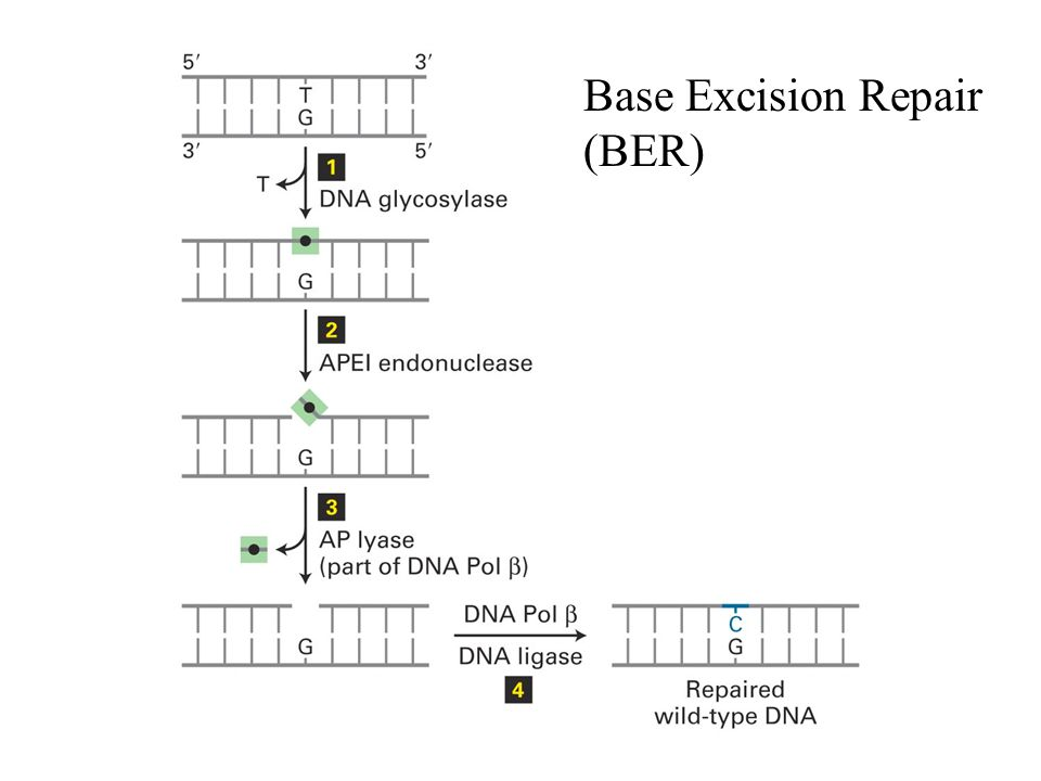 Base Excision Repair (BER)