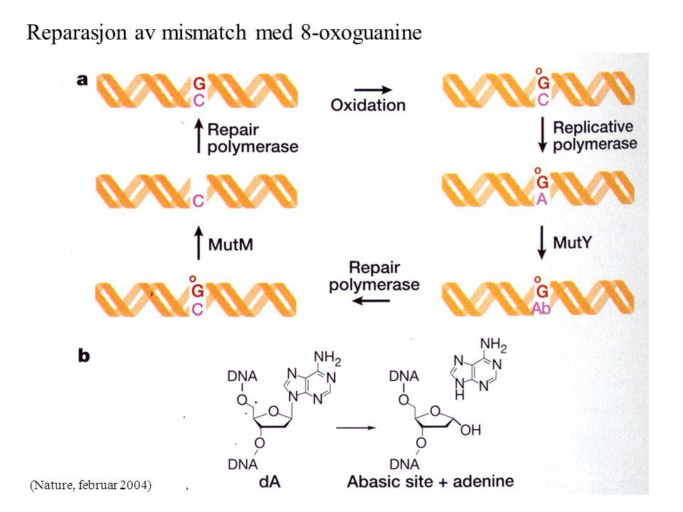 Reparasjon av mismatch med 8-oxoguanine (Nature, februar 2004)